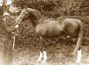 Mesaoud, one of the foundation sires of the Crabbet Arabian Stud, bred in Egypt by Ali Pasha Sherif, imported to England by the Blunts in 1891.