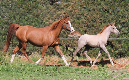 "Regenta with her 2011 Silver Omen daughter ""Rheemah""."