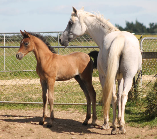 Silver Crescent and her Pilot colt.
