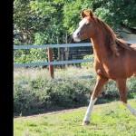 Introducing the pure Crabbet stallion Arfaja Rawdon