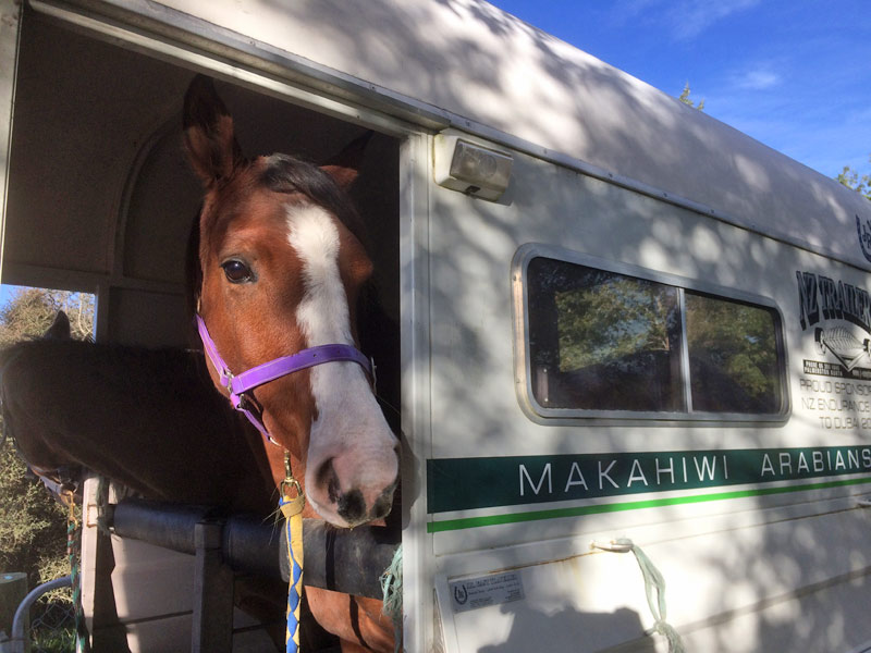Rose of Aurora on the way to Makahiwi Arabians in the North Island.